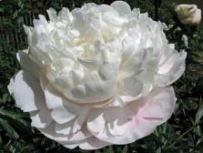 Paeonia lactiflora gladis hodson