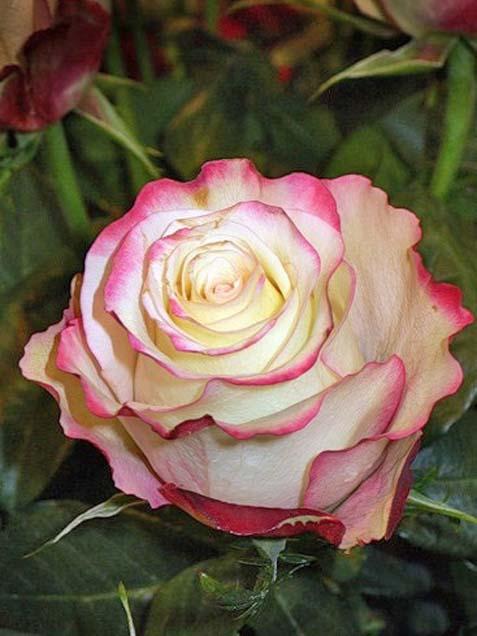Увеличеный.  На фото.  Букет из 21 розы сорта Sweetness (увеличенный из 45 роз).  Открытка.