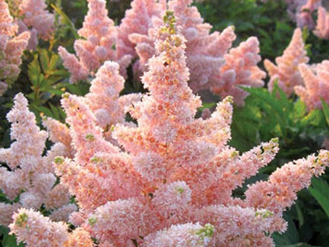 Цветы астильбы с